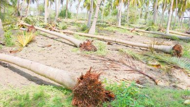 Photo of The uprooted coconut trees can be revived.